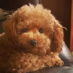 Toy #poodle - Ginger