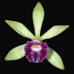 Vanilla spec. | Orchideenforum