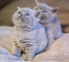 Fluffy kitties.