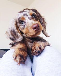 The cutest little miniature long haired dapple dachshund. The cutest little miniature long haired dapple dachshund. Source by vixxpins Super Cute Puppies, Cute Baby Dogs, Cute Little Puppies, Cute Dogs And Puppies, Cute Little Animals, Cute Funny Animals, I Love Dogs, Mini Puppies, Adorable Puppies