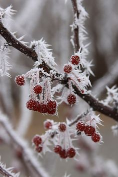 Frozen to the core, these berries still give luscious pops of festive color.