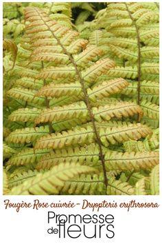 Une fougère à frondes (feuilles) persistantes, triangulaires, d'une jolie couleur cuivrée, presque rose à leur naissance et à pétioles rouges.