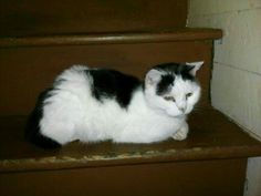 Sammy is an adoptable Domestic Short Hair (Black & White) searching for a forever family near Colbert, GA. Use Petfinder to find adoptable pets in your area.