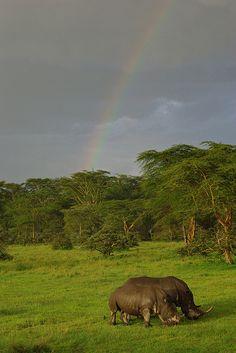 Rhinos and rainbow in Lake Nakuru National Park by Sarah Ahern