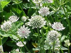 Astrantia - zone 4 - 7 - x - sun to part shade Green Flowers, Cut Flowers, Daffodils, Tulips, Astrantia Major, Cascade Mountains, Flowering Shrubs, Day Lilies, Back Gardens