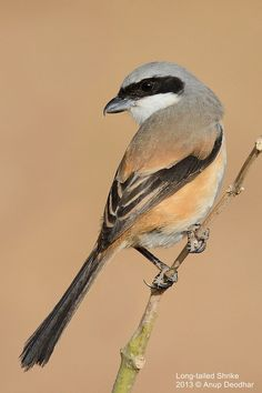 500px / Photo Long-tailed Shrike by Anup Deodhar
