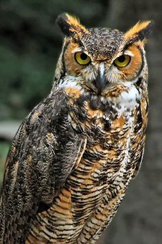 Wild Animals Photos, Owl Photos, Owl Pictures, Pet Monkey, Great Horned Owl, Beautiful Owl, Owl Art, Cute Owl, Birds Of Prey