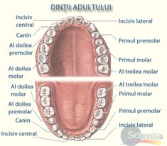 Oral Care- Oral Care Dental anatomy–did you know the names? Dental Assistant Study, Dental Hygiene Student, Dental Procedures, Dental Health, Oral Health, Portal Do Professor, Dental Anatomy, Natural Toothpaste, Dental Insurance