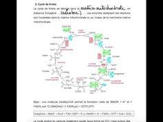 cours vidéo Métabolisme des glucides - YouTube