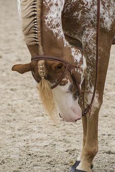 Braided Mane - Appaloosa horse - by NosChevaux