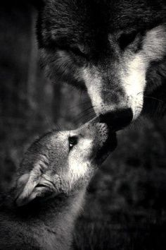 Mama Wolf is fiercely loving and protective of her babe. All of us Mom's have something in common. Mama Wolf is fiercely loving and protective of her babe. All of us Mom's have something in common. Nature Animals, Animals And Pets, Baby Animals, Cute Animals, Wild Animals, Strange Animals, Wolf Pictures, Animal Pictures, Forest Tumblr