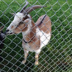 Met the goat models again