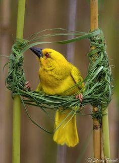 Yellow weaver constructing a new nest