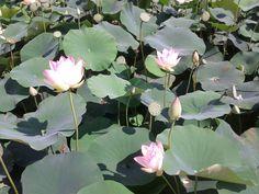 시흥 연꽃 테마파크 관곡지의 연꽃사진-2