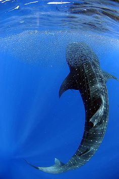 Feeding Whaleshark <3 one day I will swim with one of these :)