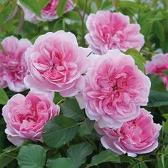 'Maid Marion' rose