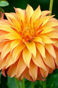 "~~Bloomquist Pumpkin Dahlia | Stellar form, 4-1/2"" beautiful orange blooms | K Connell Dahlias~~"