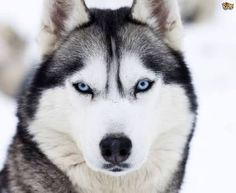 What my dream husky would look like. Does anyone else feel the need of a husky ◕ω◕
