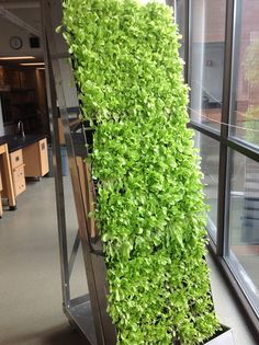 MEWU (mobile edible wall unit) planted with lettuce