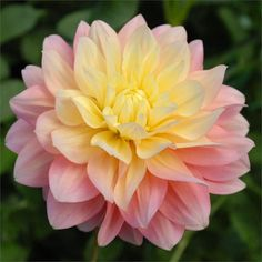 """PEACHES AND DREAMS (BBFD) Introduced in 2007, it drew the most attention at our annual dahlia festival this summer. An outstanding 5"""" beautiful peach flower that blends to a soft yellow in the center of the bloom. This variety is an excellent cut flower with tremendous laterals that will flourish all summer long on its 4 1/2' bush."""
