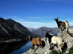 Chèvres - Proverbe arménien : Si derrière toute barbe il y avait de la sagesse, les chèvres seraient toutes prophètes. Se dietro a ogni barba si celasse saggezza tutte le capre sarebbero profeti.