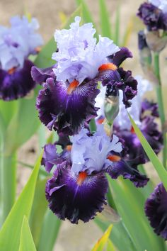 TB Iris germanica 'Honourable Lord' (Blyth, 2009)