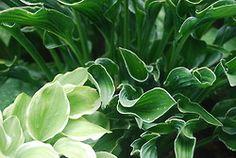 Hosta in my Pelham Garden - Praying Hands and Golden Tiara  http://cuttingedgehostafarm.com