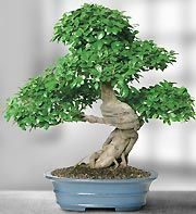 Bonsai Trees | Bonsai Plants | 1-800-FLOWERS.COM | The Bonsai Gallery