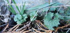 Pflanze des Monats: Die Knoblauchsrauke | Wildkraut-Garten