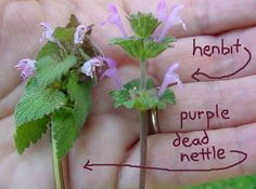 Henbit: Even though it is part of the mint family it does not taste like mint, but more like and dandelion or other yard greens. Henbit is an anti-rhuematic, diaphoretic (sweat inducer), excitant (stimulant), febrifuge (fever reducer), laxative and stimulant. Henbit is high in iron, vitamins, and fiber. It can be eaten fresh, cooked, or made into a tea, and it is a chickens favorite grazing food.