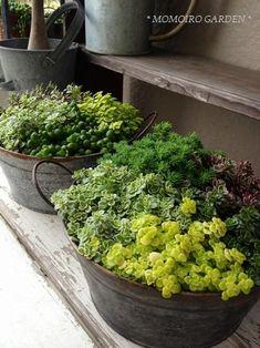 Mixed sedum planters.