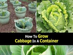Grow Cabbage in a Container.