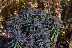 Euphorbia 'Blackbird