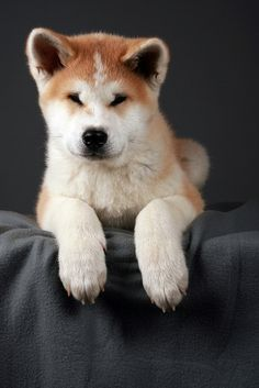 Akita Inu | japanese dog// Smily dog, look at the eyes ^^
