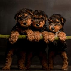 I want a Welsh Terrier puppy soooo bad. Whiskey for a boy, Gypsy for a girl. Irish Terrier, Airedale Terrier, Terrier Puppies, I Love Dogs, Cute Dogs, Animals Beautiful, Cute Animals, Lakeland Terrier, Wire Fox Terrier