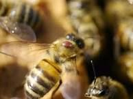 Image result for A new way of protecting bees against varroa mites | Bee Care