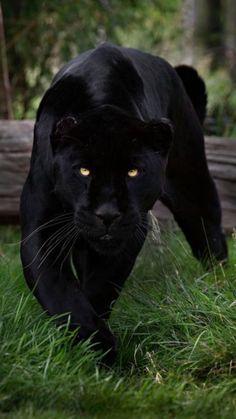 photography anime - Image by مكي المسرحي Jaguar Vector, Jaguar Logo, Jaguar F Type, Jaguar Tattoo, Black Panther Cat, Black Panther Tattoo, Tattoo Black, Pantera Old School, Beautiful Cats