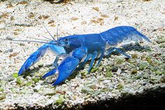 Australian Blue Pearl Yabby.  Yabbies are a type of inland freshwater crayfish found in Australia.  They feed on plants, worms and small insects. They live in holes they borrow next to sources of freshwater (dams, waterholes, billabongs, creeks, irrigation channels, etc.)