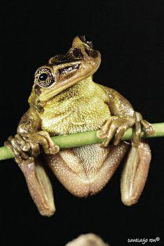 ˚Jordan's Casque-headed Treefrog rachycephalus jordani