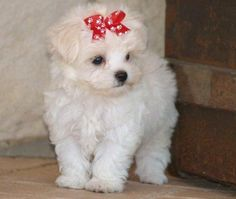 I am going to have a teacup maltese puppy someday!
