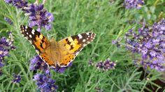 https://flic.kr/p/MMtnEF | Butterfly and blue flowers