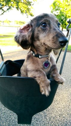 Cute Silvia Gallery - Silver Dapple Dachshund - Silvia in the swing at the park