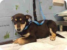 San Bernardino, CA - German Shepherd Dog Mix. Meet URGENT on 1/31 SAN BERNARDINO, a puppy for adoption. http://www.adoptapet.com/pet/17463397-san-bernardino-california-german-shepherd-dog-mix