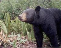 Petition To Tell Florida Fish and Wildlife Conservation Commission NO to Black Bear Trophy Hunt!
