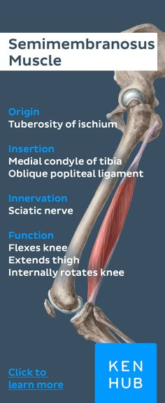 The semimembranosus is a posterior #muscle of the thigh and functions by flexing the knee and extending the thigh. Pin our #muscle facts to your boards and master #anatomy today.