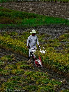 Rice harvesting time.  Yaka, Okinawa, Japan