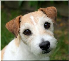 IF I should EVER have a Dog, I think it would be a Parson Russel Terrier... so cute!