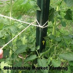 How and When to String-Weave Tomatoes (with Video) - Organic Gardening Blog - MOTHER EARTH NEWS