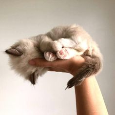 Ragdoll Kittens, Cute Kittens, Cats And Kittens, Kitty Cats, Cats Meowing, Bengal Cats, Kittens Playing, Animals And Pets, Funny Animals