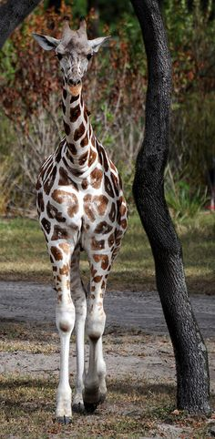 Baby Giraffe waiting for the ice cream man. Can you see its tongue will soon be hanging out? Mundo Animal, My Animal, Cute Baby Animals, Animals And Pets, Wild Animals, Beautiful Creatures, Animals Beautiful, African Animals, African Elephant